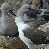 A Black Browed Albatross feeds its chick in a rookery on New Island in Britain's Falkland Islands.