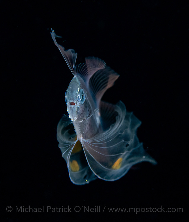 A rare and unusual Ribbonfish, from the Trachipteridae family of deep sea fish, makes a highly unusual appearance along the Palm Beach County, Florida, coastline late at night during a blackwater dive.