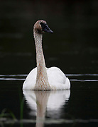 Trumpeter Swan (Cygnus buccinator) swims gracefully toward the camera, its head and neck wearing mud from exploration below the surface.  Alaska, USA