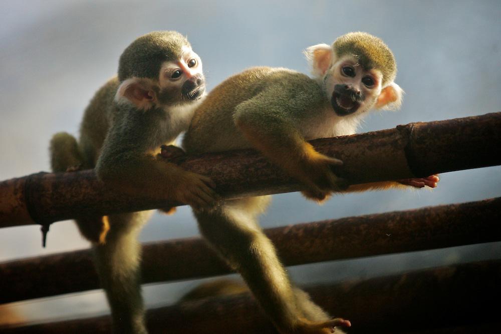 May 8, 2011; Norfolk, VA, USA; Squirrel Monkies at the Virginia Zoo.  Mandatory Credit: Peter Casey
