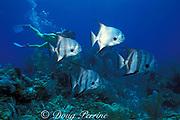 scuba diver and Atlantic spadefish, <br /> Chaetodipterus faber, Berry Islands, Bahamas,<br /> ( Western Atlantic Ocean )  MR 115