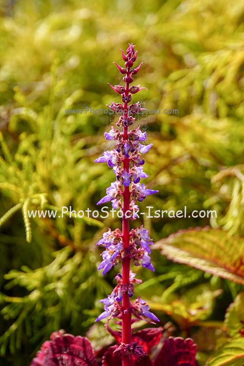 Purple flowering stem. Photographed in Osaka Japan