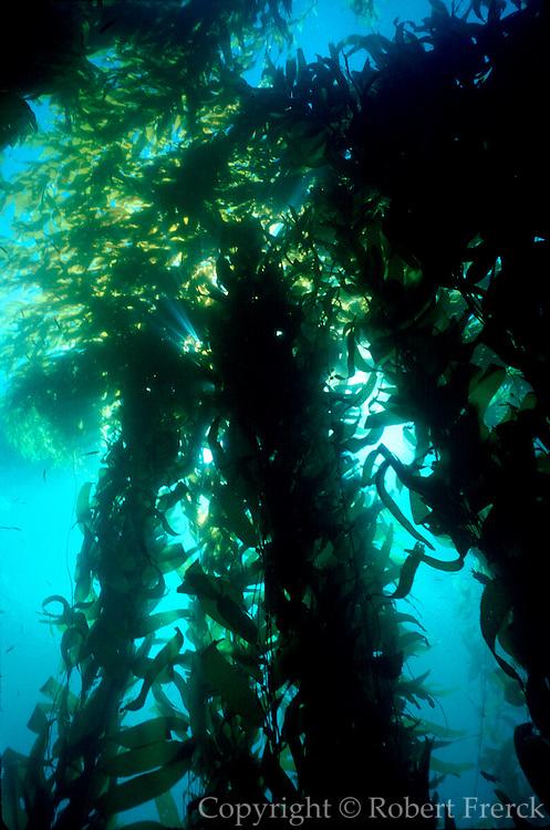 UNDERWATER MARINE LIFE EAST PACIFIC, Southern California coast ALGAE: Giant kelp forest Macrocystis pyrifera