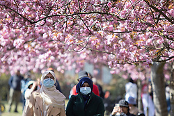 © Licensed to London News Pictures. 24/04/2021. London, UK. Two women wear masks as they walk in an avenue of cherry blossom trees during sunny weather in Greenwich Park in south east London. Temperatures are expected to rise with highs of 16 degrees forecasted for parts of London and South East England today . Photo credit: George Cracknell Wright/LNP