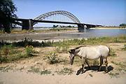 Nederland, Nijmegen, 23-7-2018 Warme zomerse dag op het Waalstrand van Nijmegen in de Ooijpolder. Het waterpeil is erg laag vanwege de aanhoudende extreme droogte, uitblijven van regen, waardoor de binnenschepen minder vracht kunnen vervoeren .Het zwemmen in de rivier de waal, rijn, is gevaarlijk vanwege de veraderlijke stroming en de drukke scheepvaart.  Een wild konikpaard op de voorgrond. Doordat veel rommel van dagjesmensen blijft liggen en waar ze van eten kunnen ze last krijgen van hun gezondheid . Foto: Flip Franssen