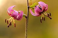 France, Languedoc Roussillon, Lozère (48), Cevennes, fleur de Lis martagon, N.L.: Lilium martagon, (Liliacées)