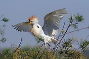 Adult Cattle Egret (Bubulcus ibis) in Breeding plumage spread wings and feathers up Israel Spring May 2008