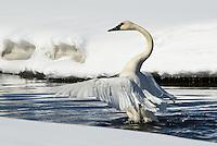 Trumpeter swan spreading wings, McIntyre Creek, Whitehorse, Yukon