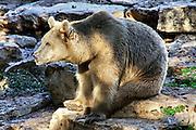 Alert SYRIAN BEAR Ursus arctos syrianus