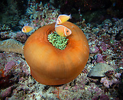 Pink Skunk Clownfish (Amphiprion perideraion) also known as the pink anemonefish, is a species of anemonefish that is widespread from northern Australia through the Malay Archipelago and Melanesia. They form symbiotic mutualisms with sea anemones at Joelle's Place, Papua New Guinea