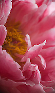 Detail of pink peony petals<br /> <br /> More about this series of peony photos on the blog: https://goo.gl/z66yyw