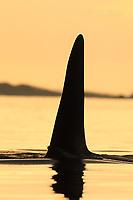 Orca fin in Johnstone Strait, BC.