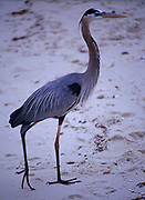 Great Blue Heron, Ardea herodias, Gulf Islands National Seashore, Florida.