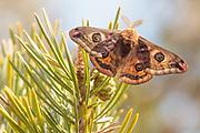 Emperor moth (Saturnia pavonia) attracted to pheromone lure. Surrey, UK.