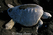 nesting female olive ridley sea turtle, Lepidochelys olivacea, with boat propeller scars on carapace, Playa Ostional, Costa Rica ( Pacific )