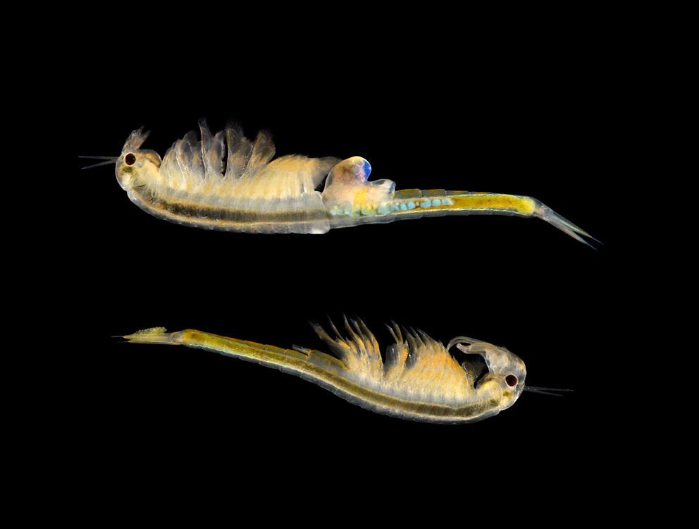 A Fairy Shrimp - Branchipus schaefferi<br /> female-top<br /> male-bottom