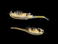 A Fairy Shrimp - Branchipus schaefferi<br /> female-top<br /> male-bottom