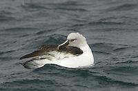 Grey-headed Albatross (Thalassarche chrysostoma) preening.<br />Elsehul, South Georgia