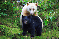Spirit bear and cubs in the Great Bear Rainforest, British Columbia, Canada