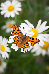 Comma butterfly (Polygonia c-album)