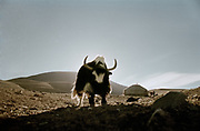 A yak, in a settlement of yurts, also called Gers, in Western Mongolia, in the Province of Bayan Olgii, at the base of the TSaast uul mountain. Yak, sheep, camels and horses are the main livelihood in Mongolia, but was victim of severe drough in the past few years.
