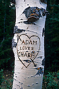 Heart carved on Aspen tree, near East Rim viewpoint, Kaibab Natl. Forest, Arizona..Subject photograph(s) are copyright Edward McCain. All rights are reserved except those specifically granted by Edward McCain in writing prior to publication...McCain Photography.211 S 4th Avenue.Tucson, AZ 85701-2103.(520) 623-1998.mobile: (520) 990-0999.fax: (520) 623-1190.http://www.mccainphoto.com.edward@mccainphoto.com..