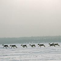 Caribou race across frozen Great Slave Lake in Canada's Northwest Territories.