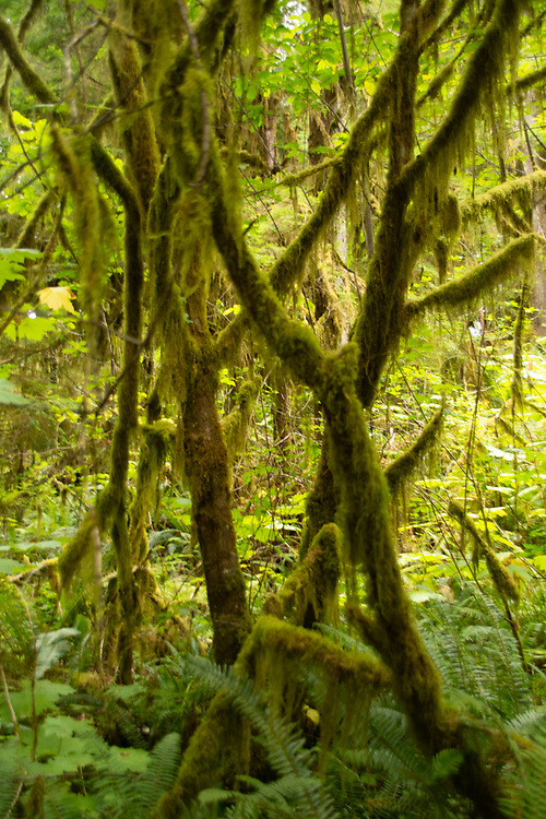 """Epiphytes (AKA """"air plants"""") like Tree moss (Stoloniferum) cover just about every tree bough and branch alongside the Quinault Rain Forest Trail. Location: Quinault Rain Forest Trail, Olympic National Forest, Washington, US."""