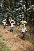 Coffee workers pickers carrying bags of coffee on their heads on a plantation. Coorg or Kadagu is the largest coffee growing region of India, in the state of Karnataka, the inhabitants - the Kodavas have been cultivating crops such as coffee, black pepper and cardamon for many generations.