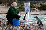 London, UK. Thursday 3rd January 2013. Zookeepers count every animal during ZSL London Zoo's annual stocktake. The compulsory count is required as part of ZSL London Zoo's zoo license, and all of the information is logged into the International Species Information System (ISIS), where it's used to manage the international breeding programmes for endangered animals. Zookeeper Zuzana Matyasova with Penguins.
