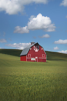 Classic red barn amidst green fields of wheat in the Palouse region of Washington State