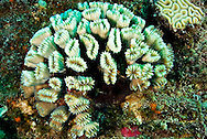 Smooth Flower Coral, Doc Paulson, Grand Cayman