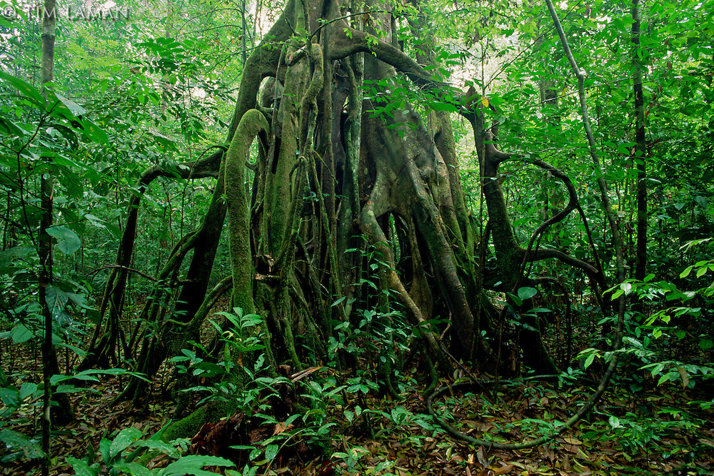 Strangler Fig (Ficus kerkhovenii) tree in the lowland rain forest of Borneo.  Gunung Palung National Park, Indonesia.