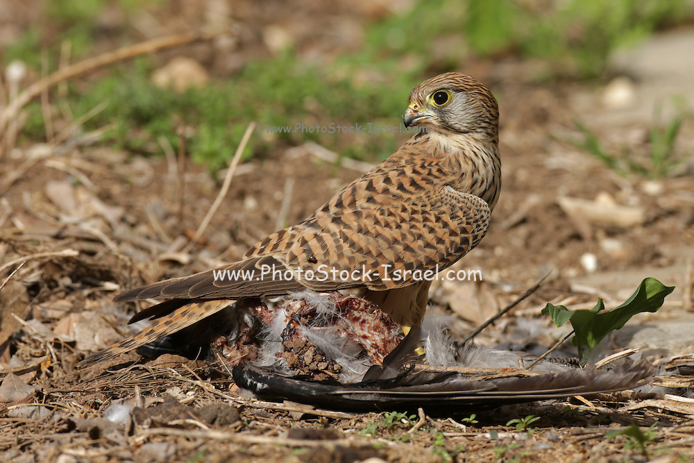 Common kestrel (Falco tinnunculus) with a hunted raven. This bird of prey is a member of the falcon (Falconidae) family. It is widespread in Europe, Asia, and Africa, and is sometimes found on the east coast of North America. Photographed in