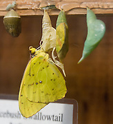 The Cloudless Giant Sulphur (Phoebis sennae) is a small to midsized butterfly in the family Pieridae found in the New World.  The caterpillar will form a chrysalis that is pointed at both ends and humped in the middle. The chrysalis will be either yellow or green with pink or green stripes. From the chrysalis comes a large butterfly (2 1/8-2 3/4 inches) with fairly elongated but not angled wings. Their range is wide, from South America to southern Canada. They are most common from Argentina to southern Texas and Florida, but are often visitors outside this range becoming more rare further north. The common habitats of this butterfly are open spaces, gardens, glades, seashores, and watercourses. The adult butterfly feeds on nectar from many different flowers with long tubes including cordia, bougainvillea, cardinal flower, hibiscus, lantana, and wild morning glory.  Photographed in the Woodland Park Zoo, Seattle, Washington, USA.