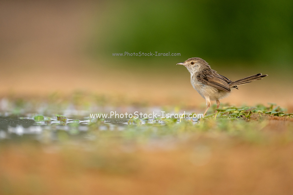 female house sparrow (Passer domesticus) near water. Photographed in Israel in September