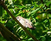 Anna's Hummingbird (Calypte anna). Marriott Residence Inn, South San Francisco, California. Image taken with a Nikon D300 camera and 18-200 mm VR lens.