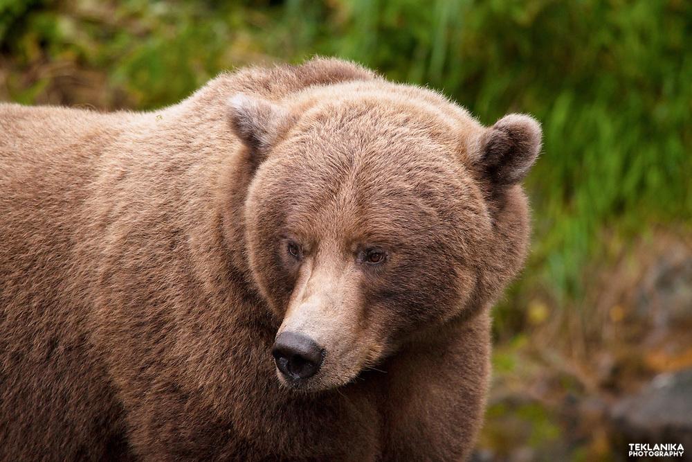 A large female brown bear stands near a river in Alaska's Kenai Peninsula.