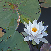 A water lily flower floats among lily pads on Lake of the Woods, near Kenora, Ontario, Canada.