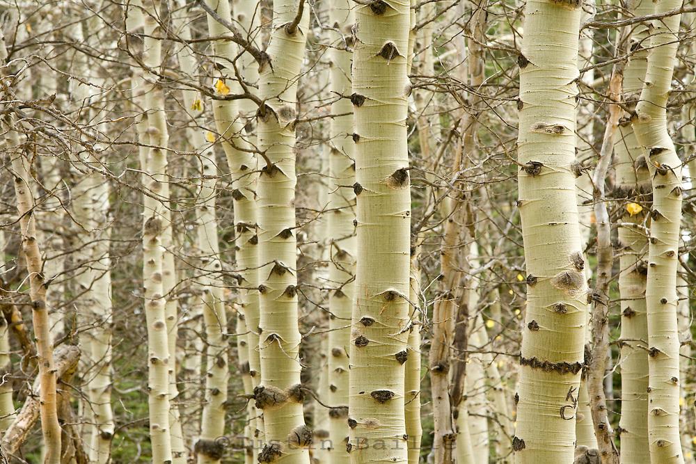 Scenic of aspen trees in fall.