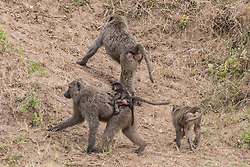 Baboon Infant Holding On To Its Mother