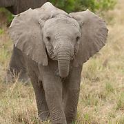 African elephant (Loxodanta africana) portrait of a calf. Masai Mara National Reserve, Kenya, Africa