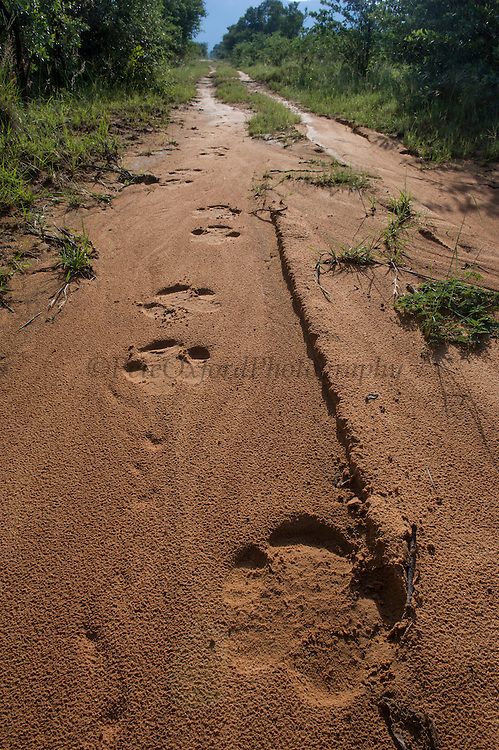 White rhinoceros foot prints (Ceratotherium simum)<br /> Marataba, A section of the National Park, <br /> SOUTH AFRICA<br /> RANGE: Southern & East Africa<br /> ENDANGERED SPECIES