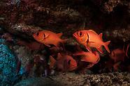 Myripristis pralinia (Scarlet Soldierfish)