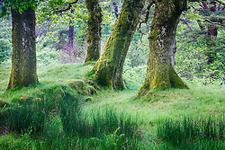 Trees in forest, Sheeffrey Wood, Sheeffrey Hills, County Mayo, Ireland