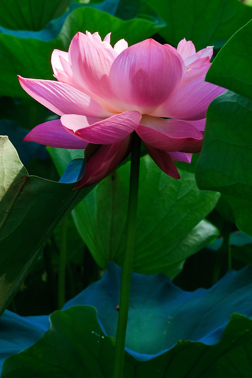 Image of a sunlit lotus blossom (Nelumbo nucifera) surrounded by lotus leaves, Kenilworth Park and Aquatic Gardens, Washington, DC.