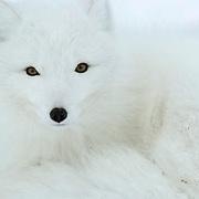 Arctic Fox (Alopex lagopus) along the ice edge of Hudson Bay, Cape Churchill, near Churchill, Manitoba, Canada. November