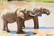 Kenya, Samburu National Reserve, Kenya, African Elephants drinking water at a watering hole