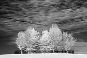 Infrared (IR) image - There's something about these fenced in trees that I like in this image.  Like the previous photograph, I rework this image from time to time with various processing techniques.  This image was made in early autumn on Shadwell Farm.