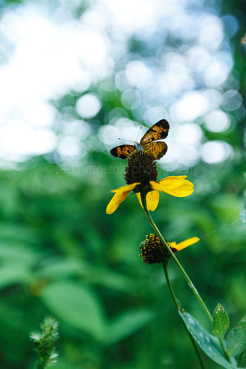 Butterfly on clasping coneflower, Big Spring historical and natural area, Great Trinity Forest, Dallas, Texas, USA